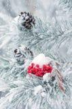 Rote gefrorene Eberesche auf Niederlassung der Kiefer Lizenzfreie Stockfotos