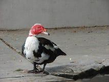 Rote gegenübergestellte Ente Muscovy auf einem Zementbürgersteig Stockfoto