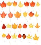 Rote gelb-orangee Ahornholz-Eichen-Herbst-Blätter getrennt Lizenzfreies Stockbild