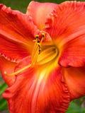 Rote gelbe Azalee der Blume Stockbild