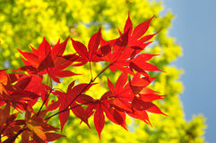 Rote gelbe Fallahornblätter Stockfotos