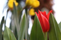 Rote/gelbe Tulpe mit grünem Hintergrund stockbilder