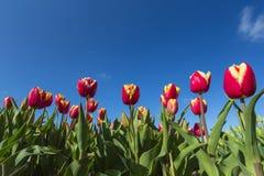 Rote gelbe Tulpennahaufnahme gegen einen blauen Himmel Stockfoto
