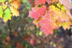Rote, gelbe und grüne Eiche verlässt als natürlicher Herbsthintergrund Stockfotos