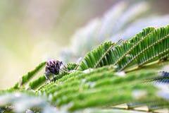 Rote gemusterte Fliege, die ?ber Bl?ttern einer Mimose stillsteht lizenzfreies stockbild