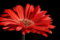 Rote gerber Blume Stockfotos