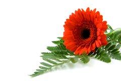 Rote Gerber Blume auf Blatt in der Nahaufnahme Stockbild