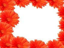 Rote gerber Gänseblümchen auf Weiß Stockfoto
