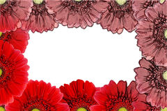 Rote Gerbera-Blume Lizenzfreies Stockfoto