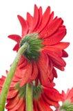 Rote Gerberablume oben angesehen vom rückseitigen Abschluss Stockbild