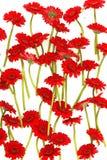 Rote Gerberablumen auf Weiß Lizenzfreies Stockbild