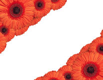 Rote Gerberablumen schaffen einen Rahmen auf weißem Hintergrund Lizenzfreies Stockfoto