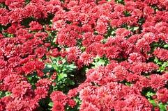 Rote Gerberagänseblümchen Stockbilder