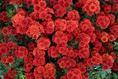 Rote Gerberagänseblümchen Lizenzfreie Stockbilder