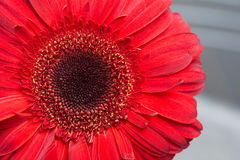 Rote Gerberagänseblümchen Stockbild