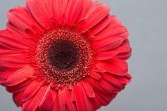 Rote Gerberagänseblümchen Lizenzfreies Stockfoto