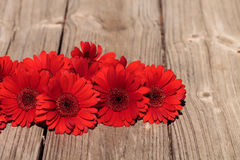 Rote Gerberagänseblümchen Stockfotografie