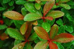 Rote gespitzte Blätter im Regen lizenzfreie stockfotografie