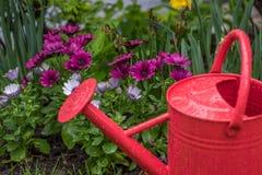 Rote Gießkanne im Garten mit Frühlingsblumen und -regentropfen Lizenzfreie Stockfotos