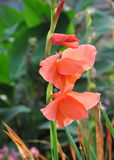 Rote Gladiole Gandavensis lizenzfreies stockbild
