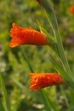 Rote Gladioleknospe der Paare Lizenzfreie Stockfotografie