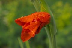 Rote Gladioleknospe im Garten Lizenzfreie Stockbilder