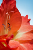 Rote Gladiolen blühen, Nahaufnahme auf einem blauen Hintergrund Lizenzfreie Stockfotografie