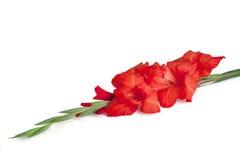 Rote Gladiolusblume Stockfotografie