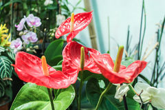 Rote glatte Callas Lizenzfreie Stockfotografie