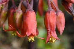 Rote Glockenblumen Stockfotografie