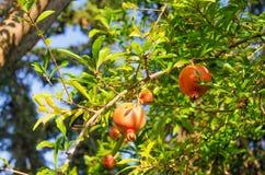 Rote Granatäpfel Lizenzfreies Stockbild