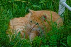 Rote green-eyed Katze Lizenzfreie Stockfotos