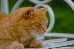 Rote green-eyed Katze Stockfotografie