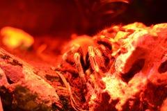 Rote große Spinne Stockbild