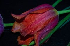 Rote gro?e Tulpe auf einem schwarzen Hintergrund wird mit Wassertropfen bedeckt lizenzfreie stockbilder