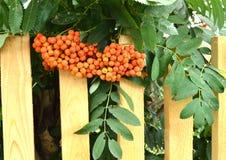 Rote Gruppen der Eberesche verzweigen sich in den Herbstgarten Stockfotos