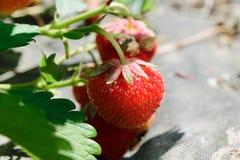 Rote hängende Erdbeeren umgeben mit grünen Blättern und bis zum Morgen Sun erleuchtet stockfoto