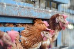 Rote Hühner geholt zu einem Käfigverkauf stockfotografie