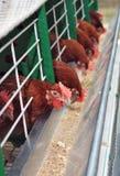 Rote Hühner nähern sich Zufuhren Stockfoto