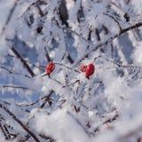 Rote Hagebutten auf dem Busch im Winter Stockbild