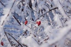 Rote Hagebutten auf dem Busch im Winter Stockfotografie