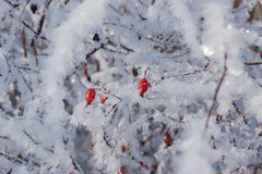 Rote Hagebutten auf dem Busch im Winter Stockfoto