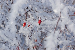 Rote Hagebutten auf dem Busch im Winter Lizenzfreie Stockfotos