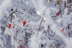 Rote Hagebutten auf dem Busch im Winter Lizenzfreies Stockbild