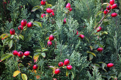 Rote Hagebutten auf Nadelbaumhintergrund Stockbild