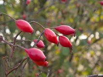 Rote Hagebutten, die reife Frucht vom wilden stiegen 2 Stockfoto