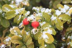 Rote Hagebutten im Schnee Stockbild