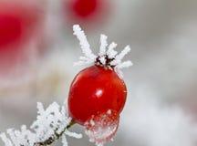 Rote Hagebutten Makro im Winter unter Frost in der Kälte lizenzfreie stockfotos