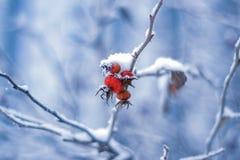 Rote Hagebuttenbeeren auf dem blauen Hintergrund lizenzfreies stockfoto