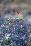 Rote Hagebuttenbeeren mit Schnee Ein wilder rosafarbener Strauch mit Frost Tanne stockfoto